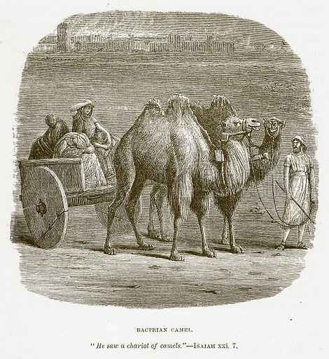 Bactrian Camel. Illustration for Bible Animals by JG Wood (Longmans, 1876).