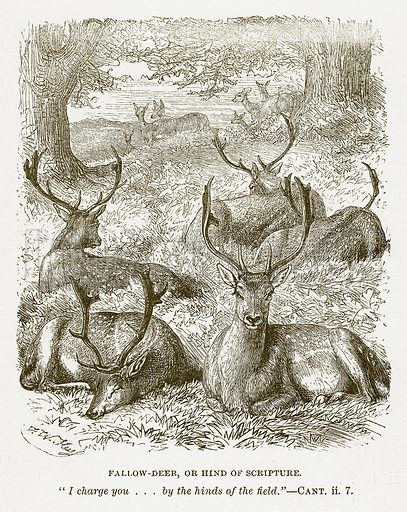 Fallow-Deer, or Hind of Scripture. Illustration for Bible Animals by JG Wood (Longmans, 1876).