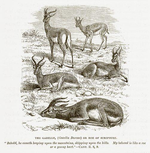 The Gazelle, (Gazella Dorcas) or Roe of Scripture. Illustration for Bible Animals by JG Wood (Longmans, 1876).