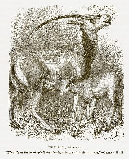Wild Bull, or Oryx. Illustration for Bible Animals by JG Wood (Longmans, 1876).