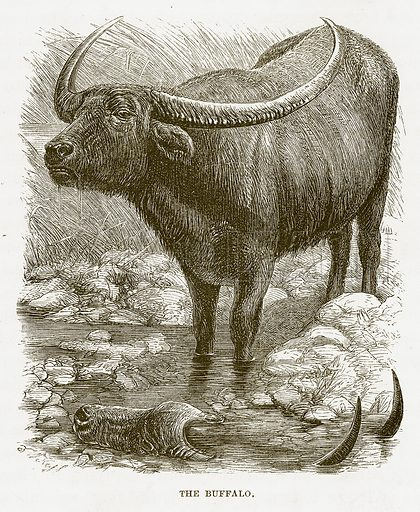 The Buffalo. Illustration for Bible Animals by JG Wood (Longmans, 1876).