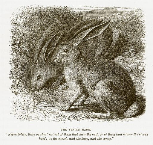 The Syrian Hare. Illustration for Bible Animals by JG Wood (Longmans, 1876).