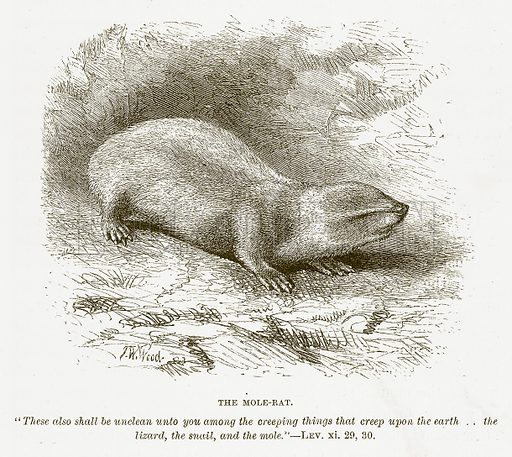 The Mole-Rat. Illustration for Bible Animals by JG Wood (Longmans, 1876).
