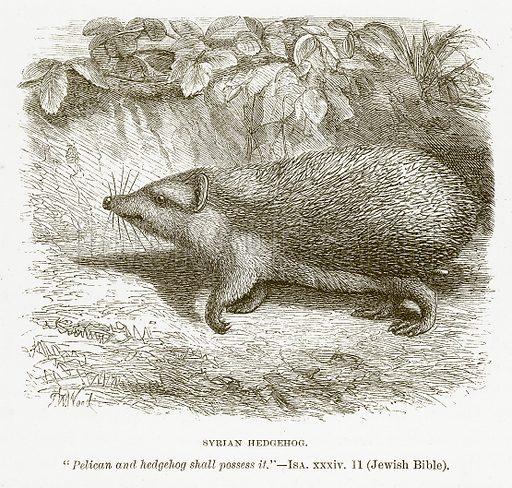 Syrian Hedgehog. Illustration for Bible Animals by JG Wood (Longmans, 1876).