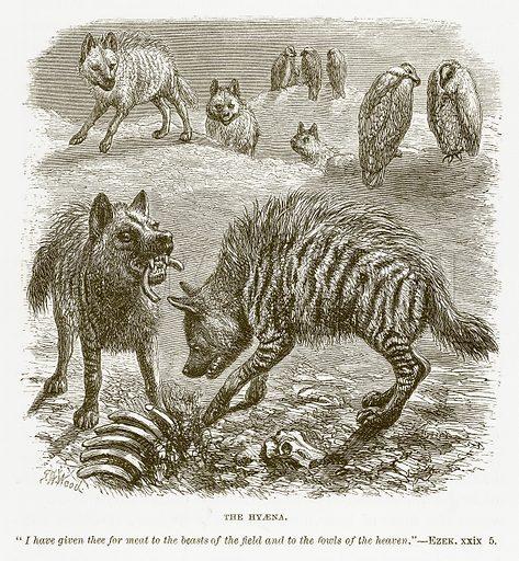 The Hyaena. Illustration for Bible Animals by JG Wood (Longmans, 1876).