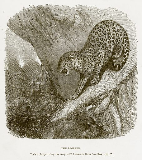 The Leopard. Illustration for Bible Animals by JG Wood (Longmans, 1876).