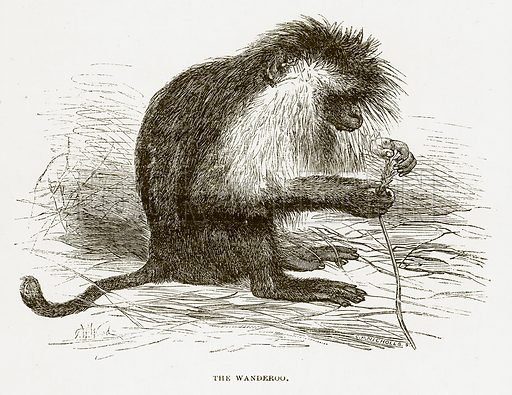 The Wanderoo. Illustration for Bible Animals by JG Wood (Longmans, 1876).