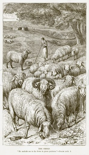 The Sheep. Illustration for Bible Animals by JG Wood (Longmans, 1876).
