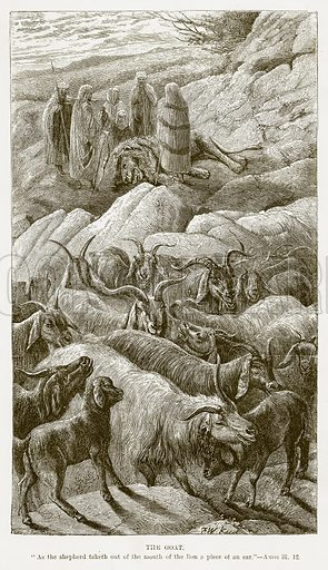 The Goat. Illustration for Bible Animals by JG Wood (Longmans, 1876).