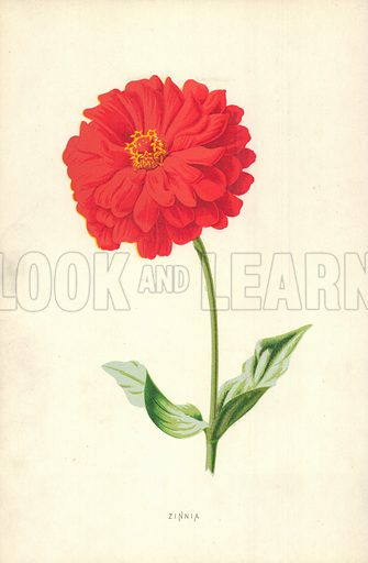 Zinnia, picture, image, illustration
