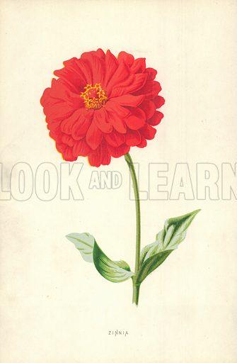 Zinnia. Illustration for Familiar Garden Flowers (Cassell, c 1890).