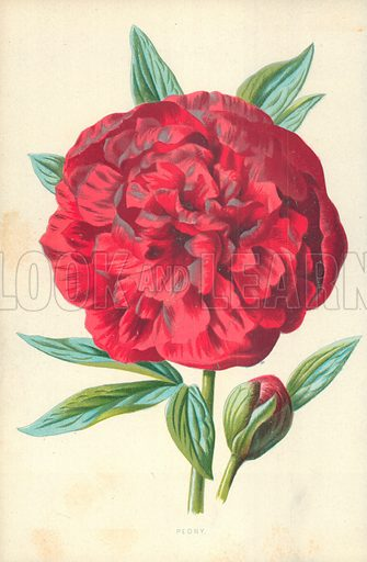Peony. Illustration for Familiar Garden Flowers (Cassell, c 1890).