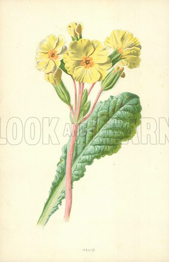 Oxlip. Illustration for Familiar Garden Flowers (Cassell, c 1890).