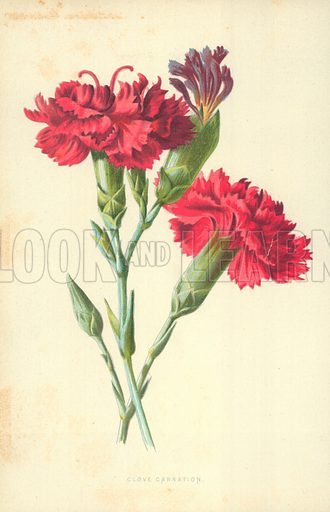 Clove Carnation