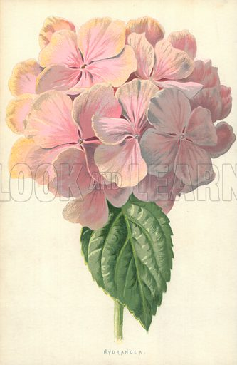 Hydrangea. Illustration for Familiar Garden Flowers (Cassell, c 1890).