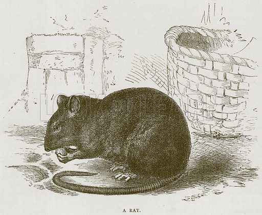 A Rat. Illustration for Stories about Animals by Thomas Jackson (Cassell, c 1870).