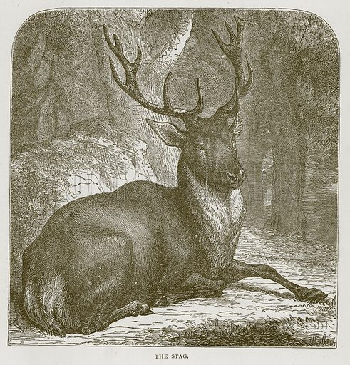 The Stag. Illustration for Stories about Animals by Thomas Jackson (Cassell, c 1870).