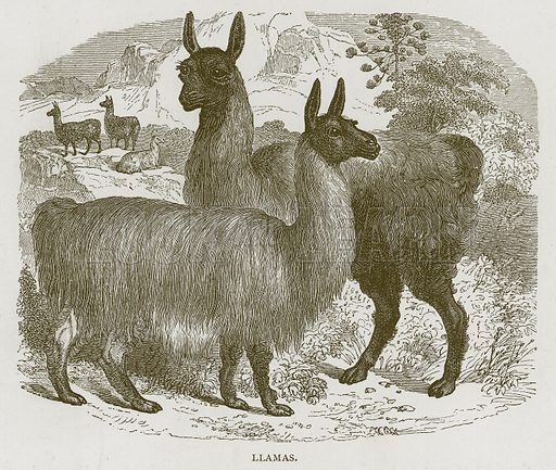 Llamas. Illustration for Stories about Animals by Thomas Jackson (Cassell, c 1870).