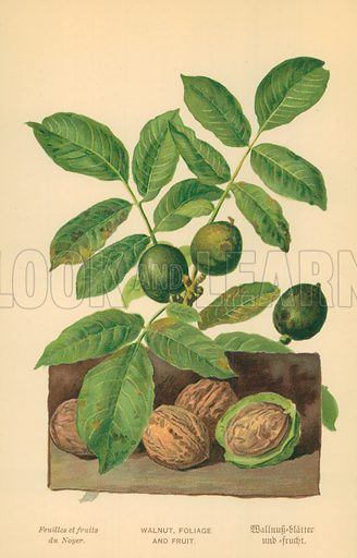 Walnut, Foliage and Fruit. Illustration for Familiar Trees (Cassell, c 1880).