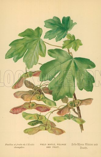 Field Maple, Foliage and Fruit. Illustration for Familiar Trees (Cassell, c 1880).
