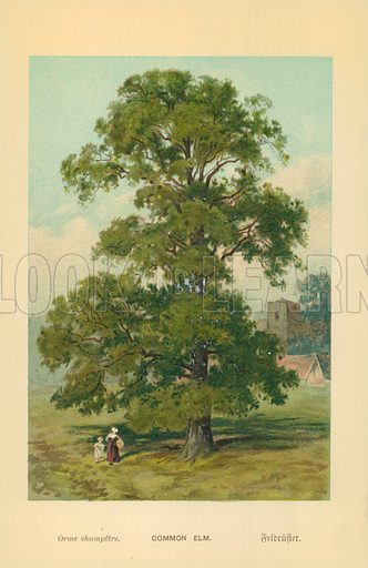 Common Elm. Illustration for Familiar Trees (Cassell, c 1880).