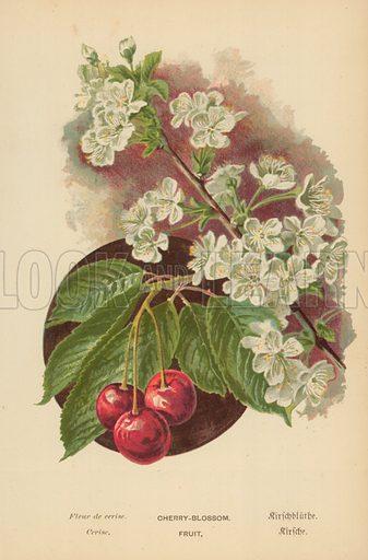 Cherry-Blossom. Fruit.