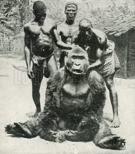 A Gorilla Shot in German West Africa. Illustration for the Harmsworth Natural History (1911).