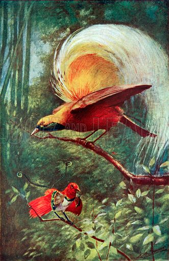 Great Bird of Paradise and King Bird of Paradise. Illustration for the Harmsworth Natural History (1911).