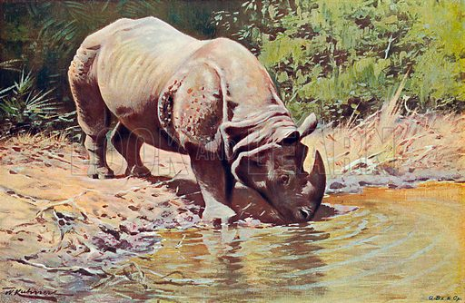 Indian Rhinoceros. Illustration for the Harmsworth Natural History (1911).