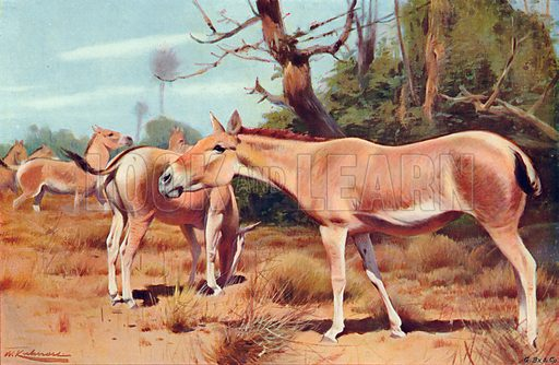 Asiatic Wild Asses. Illustration for the Harmsworth Natural History (1911).