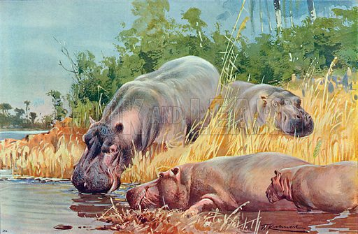 Hippopotamuses. Illustration for the Harmsworth Natural History (1911).