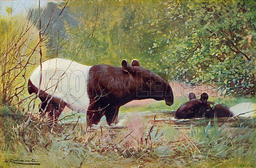 Malay Tapirs. Illustration for the Harmsworth Natural History (1911).