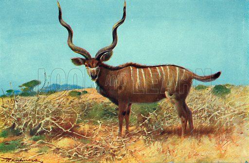 Kudu. Illustration for the Harmsworth Natural History (1911).