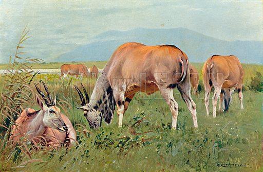 Eland. Illustration for the Harmsworth Natural History (1911).