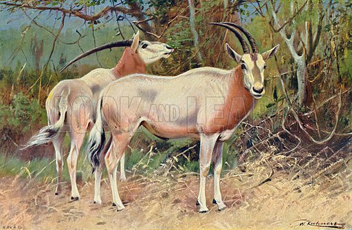 Sable Antelopes. Illustration for the Harmsworth Natural History (1911).
