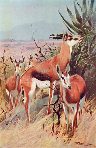 Springbuck. Illustration for the Harmsworth Natural History (1911).