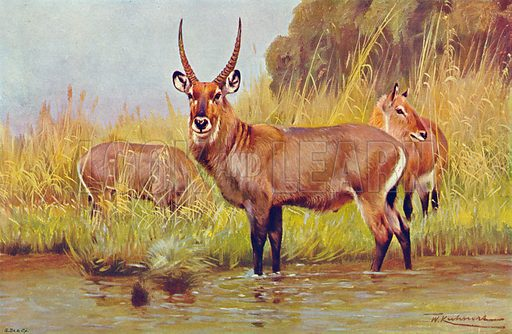 Waterbuck. Illustration for the Harmsworth Natural History (1911).