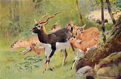 Blackbuck. Illustration for the Harmsworth Natural History (1911).