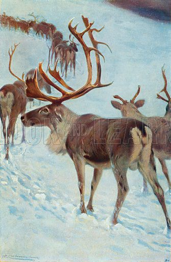 Scandinavian Reindeer. Illustration for the Harmsworth Natural History (1911).