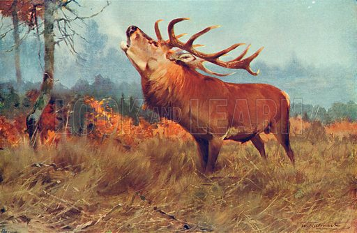 The Red Deer. Illustration for the Harmsworth Natural History (1911).