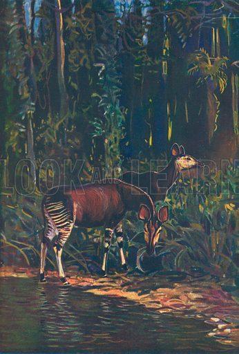 Okapis. Illustration for the Harmsworth Natural History (1911).