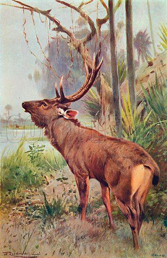 The Sambar. Illustration for the Harmsworth Natural History (1911).