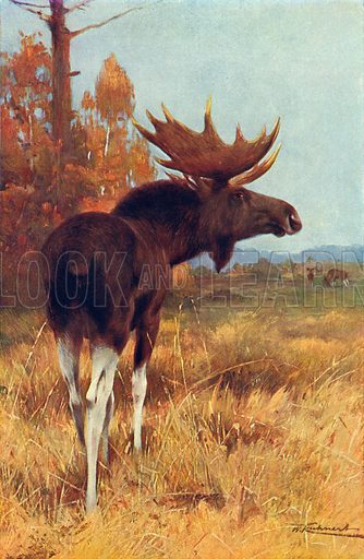 The Elk, or Moose. Illustration for the Harmsworth Natural History (1911).
