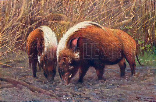 River-Hogs. Illustration for the Harmsworth Natural History (1911).
