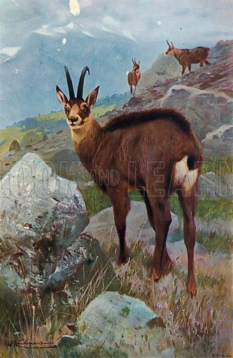 Chamois. Illustration for the Harmsworth Natural History (1911).