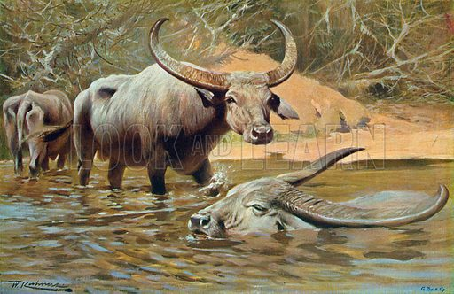 Indian Buffaloes. Illustration for the Harmsworth Natural History (1911).