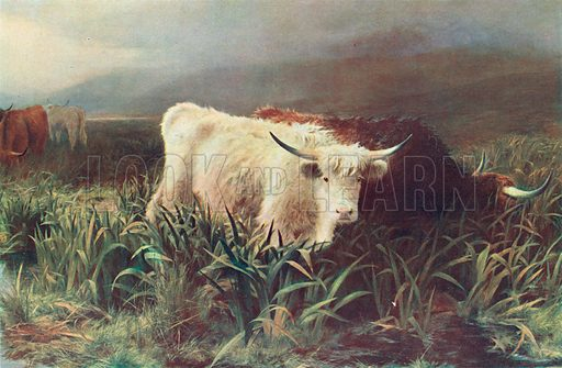 Highland Cattle. Illustration for the Harmsworth Natural History (1911).