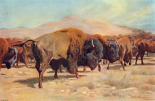 American Bison. Illustration for the Harmsworth Natural History (1911).