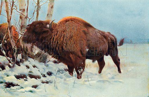 European Bison. Illustration for the Harmsworth Natural History (1911).