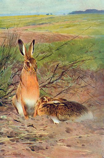 Hares. Illustration for the Harmsworth Natural History (1911).
